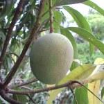 Mango ripened on a mango tree — Stock Photo