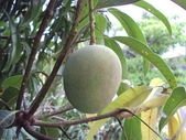 Mango ripened on a mango tree — Stock Photo