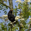 Blackbird on a branch - Stock Photo