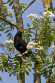 Blackbird on a branch — Stock Photo