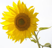 Sunflower-2 — Stock Photo