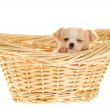 Puppy inside Basket Sleeping, one eye open - Stock Photo