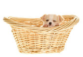 Puppy inside Basket Sleeping, one eye open — Stock Photo