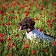 Dog and poppy field — Stock Photo