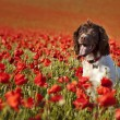 Dog on poppy fields — Stock Photo #5883188