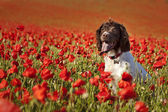 Dog on poppy fields — Stock Photo