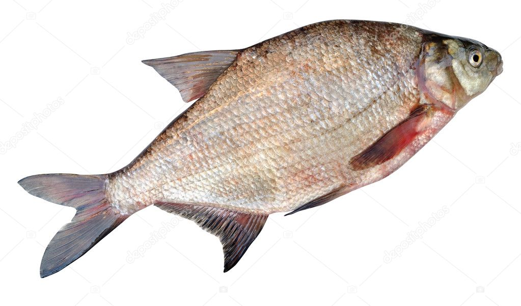 The common bream, freshwater bream, bream, bronze bream or carp bream, Abramis brama, is a European species of freshwater fish in the family Cyprinidae. — Stock Photo #5879606