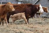 Cows-Calf in Pen — Stock Photo