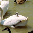 Swan with cygnet on it's back — Stock Photo
