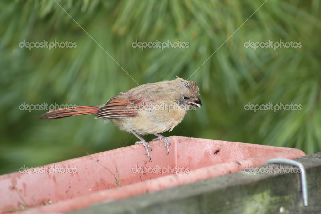 Northern Cardinal (Fledgling) sitting on a flower planter. The Cardinal is found from southern Canada through the eastern United States — Stock Photo #5439201