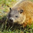 Ground hog — Stock Photo #5460690