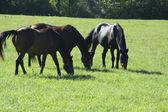 牧草地の馬 — ストック写真