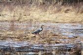 Heron, Great Blue — Stock Photo