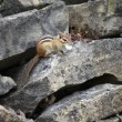 Chipmunk, Eastern — Stock Photo
