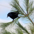 Grackle, Common — 图库照片