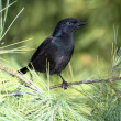 Royalty-Free Stock Photo: Grackle, Common