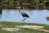 Heron, Great Blue — Stock Photo