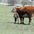 Hereford Cow and Calf — Stock Photo #5541702