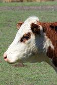 Vaca hereford — Foto de Stock
