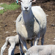 Stock Photo: Sheep (Ewe and Lamb)
