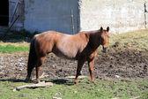Häst, brun — Stockfoto