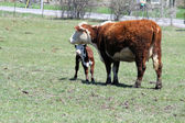 Hereford Cow & Calf — Foto Stock