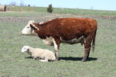Hereford Cow & Ram — Stock Photo