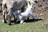 Sheep (Ewe and Lamb) — Stock Photo