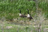 Canada Geese & Goslings — Stock Photo