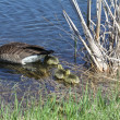 Canada Goose & Goslings — Stock Photo
