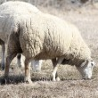 Sheep (Ewe) — Stock Photo #5658615