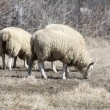 Sheep (Ewe) — Stock Photo #5658639
