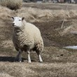 Stock Photo: Sheep (Ewe)