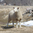 Sheep (Ewe) — Foto Stock