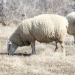 Sheep (Ewe) — Stock Photo #5658661