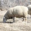 Sheep (Ewe) — Stock Photo