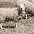 Sheep (Ewe) — Stock Photo #5658666