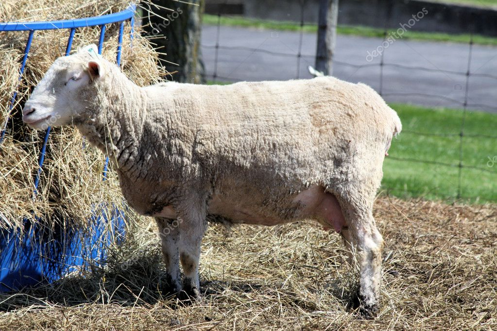 Ewe standing next to a feed station in a feed and holding pen — Stock Photo #5658834