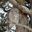 Barred Owl on Branch — Foto Stock