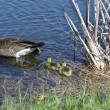 Canada Goose & Goslings - Stock Photo