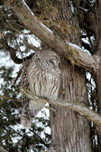 Barred Owl on Branch — Stock Photo