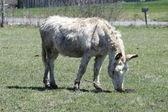 Donkey, Grey — Stock Photo