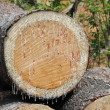 Sap on Cut Tree — Stock Photo
