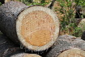 Sap on Cut Tree — Stock Photo