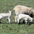 Sheep (Ewe & Lambs) — Stock Photo