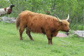 Long Haired Cattle (Highland) — Stock Photo