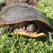 Midland Painted Turtle Laying Eggs — Stock Photo #5933468