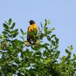 Baltimore Oriole — Stock Photo #6100283
