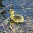 Gosling (Canada Goose) — Stock Photo