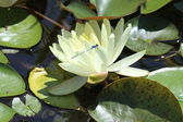 Water Lily (Yellow) with Azure Damselfly — Stock Photo